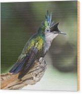 Antillean Crested Hummingbird On Stick Wood Print