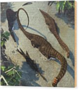 Apatosaurus From Above Wood Print