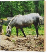 Appaloosa Eating Hay Wood Print