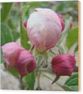 Apple Blossom Buds Art Prints Spring Baslee Troutman Wood Print