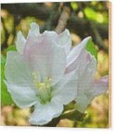Apple Blossom Close-up Wood Print