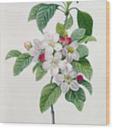 Apple Blossom Wood Print by Pierre Joseph Redoute