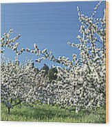 Apple Blossom Trees Norway Wood Print