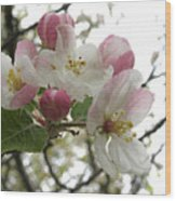 Apple Blossoms - Wild Apple Wood Print