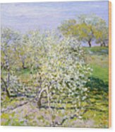 Apple Trees In Bloom  Wood Print