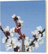 Apricot Blossoms Wood Print