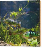 Aquarium Striped Fishes Group Wood Print