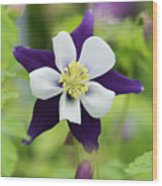 Aquilegia Swan Violet And White Wood Print
