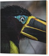 Aracari Wood Print