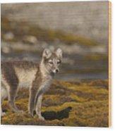 Arctic Fox In Tundra Wood Print