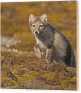 Arctic Fox Striding Out Wood Print