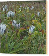 Arctic Gentian Blooming In The Alpine Wood Print