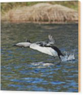 Arctic Loon Take Off Wood Print