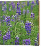 Arctic Lupine Lupinus Ancticus Wood Print