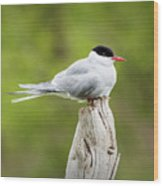 Arctic Tern Wood Print