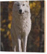 Arctic Wolf On Rocks Wood Print