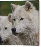 Arctic Wolf Pair Wood Print