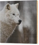 Arctic Wolf Pictures 1242 Wood Print