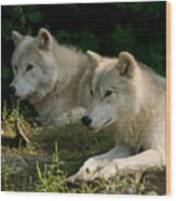 Arctic Wolf Pictures 1268 Wood Print
