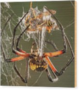 Argiope Spider Wrapping A Hornet Wood Print