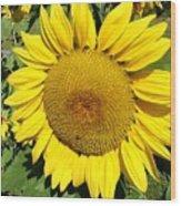 Arikara Sunflower Wood Print