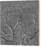 Arizona Sycamore Tree Filtered 022714 Wood Print