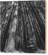 Armstrong National Park Redwoods Filtered Sun Black And White Wood Print