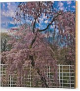 Asian Cherry In Blossom Wood Print