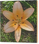 Asiatic Lily With Poster Edges Wood Print