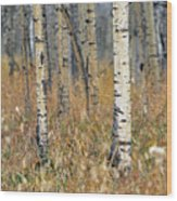 Aspen Forest, Mountain View County Wood Print