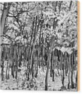 Aspen In Snow Black And White Wood Print