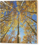 Aspen Tree Canopy 2 Wood Print