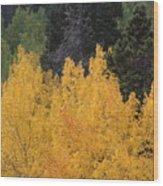 Aspen Trees In Full Bloom Wood Print