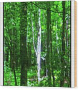 Aspens At The Chanticleer Wood Print