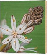 Asphodelus Microcarpus Wood Print