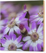 Aster Delights Wood Print