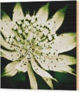 Astrantia In Bloom Wood Print