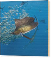 Atlantic Sailfish Hunting Wood Print