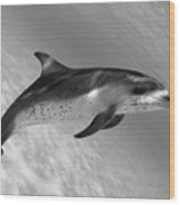 Atlantic Spotted Dolphin Wood Print