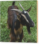 Attractive Goat Standing In A Grass Field On A Farm Wood Print