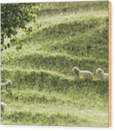 Auckland Sheep Grazing Wood Print