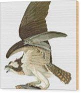 Audubon: Osprey Wood Print