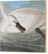 Audubon: Trumpeter Swan Wood Print