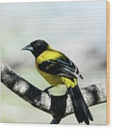Audubon's Oriole Back Wings Wood Print