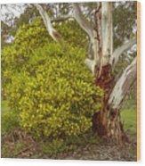 Australian Wattles Bush And Candlebark Gum Tree Wood Print