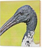 Australian White Ibis Wood Print