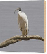 Australian White Ibis Perched Wood Print