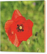 Austrian Poppy Wood Print