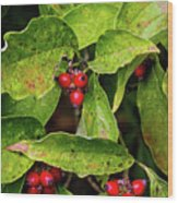 Autumn Dogwood Berries Wood Print