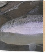 Autumn Ironside Trout Wood Print by Paul Hurtubise